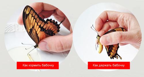 как кормить бабочек и как держать бабочку